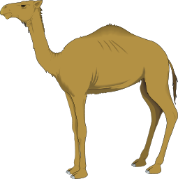 One-humped camel